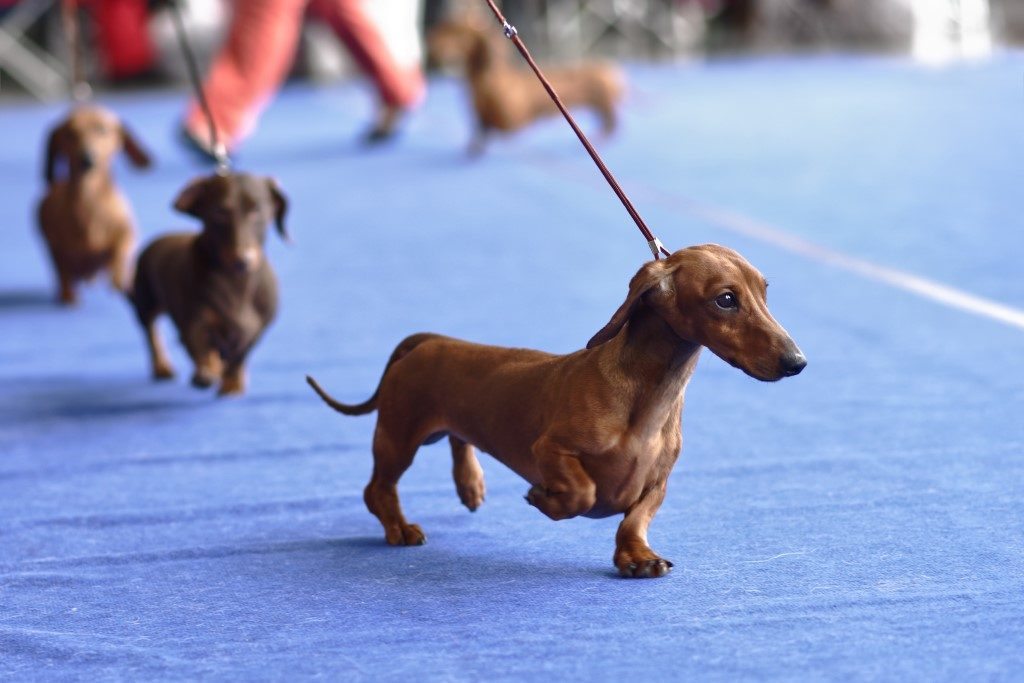 Photograph of brown dog and Crufts event